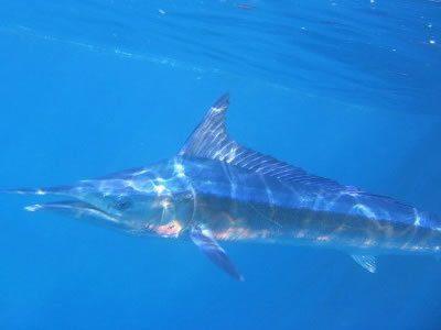 Foto di un'aguglia - Pesca Isola del Giglio