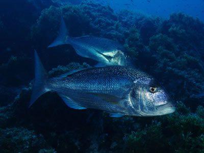 Foto di una coppia di dentici - Pesca Isola del Giglio